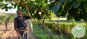 党家庄农户正在给猕猴桃人工授粉