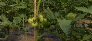 塑料大棚里的西红柿