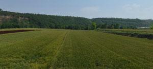 凹地里的整片麦田